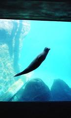 Sea Lion (Tom Brune) Tags: california blue sea 2 water 50mm zoo fuji underwater lion diagonal seal 400 stx portra poised