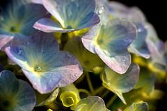 Hydrangea  (Mel@photo break) Tags: plant flower macro bokeh petal mel hydrangea melinda macau  raynox250  chanmelmel melindachan