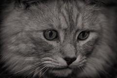 Mr. Sidney (Alex M. Wolf) Tags: bw alex cat canon eos feline wolf sid m gato katze 60d