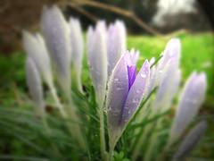 Glow (VampireBassist) Tags: flowers light flower green purple crocus ilobsterit