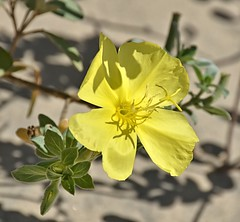 Evening Primrose along roadside (Pat's Pics36) Tags: texas yellowflower wildflower southpadreisland eveningprimrose nikond7000 nikkor18to200mmvrlens