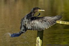 Cormorant. (spw6156 - Over 4,880,054 Views) Tags: copyright steve  cormorant waterhouse