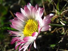 Gänseblümchen (germancute) Tags: plant flower nature germany deutschland thüringen thuringia blume germancute