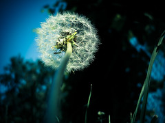 Rising high (Vlad S. Ionita) Tags: blue light summer sky flower macro nature grass lens rising spring time cloudy low perspective dandelion limit outstandingromanianphotographers