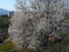 esplosioni primaverili (fotomie2009) Tags: italy flower tree primavera spring flora italia liguria fiore albero fiorito cadibona