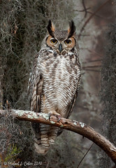 Male Great Horned Owl (MyKeyC) Tags: bird nature birds owl owls greathornedowl greathorned greathornedowlmalegreathornedowlgho aaacolbirds