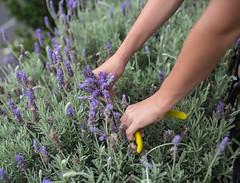 Picking the lavender (Justine Gordon) Tags: flowers summer hands lavender
