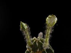 Echinopsis (achrntatrps) Tags: flower macro fleur timelapse nikon photographer suisse d200 nikkor cactaceae blume stopmotion blooming photographe echinopsis sb800 105mmf28 lachauxdefonds floraison cactoideae sb700 dellolivo trichocereae alexandredellolivo nikonswitzerland
