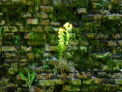 FIORI dalle MURA CITTADINE (aldofurlanetto) Tags: mura fiori citta mattoni