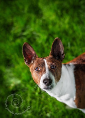 "5.12 Raisin ""Dogs on the grill?!?!"" (jezandia) Tags: dog basenji raisin 12monthsfordogs14 thelittledogportraits"