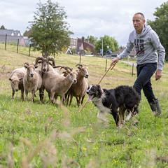 Rob, Lieve & Sheep (Bas Bloemsaat) Tags: dog sheep shepherd sheepdog staff bordercollie handler herding