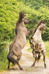 Konikpaarden - just playing ? (Alex Verweij) Tags: wild horses horse playing nature canon play 5d stillekern paarden zeewolde spelen konik konikpaarden verweij alexverweij