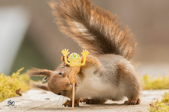 dont take me (Geert Weggen) Tags: red nature animal squirrel rodent mammal cute look closeup stand funny bright sun backlight eyes hypnosis staring watching contact each up doll surrender handsup nurse takingcare prison peanut food pin notme help geert weggen bispgården ragunda sweden hardeko