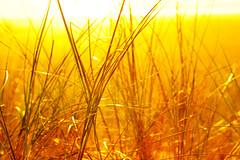 DSC07533 (VenBurbank) Tags: goldengrass sunset
