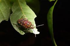 Jewel Bug (Scutelleridae), Singapore (singaporebugtracker) Tags: singaporebugtracker bukittimahnaturereserve macro colorfulinsect jewelbug metallicshieldbug stinkbug iridescent coloration nightwalk diffraction