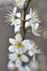 blackthorn in flower (conall..) Tags: prunus spinosa prunusspinosa flowers blossom spring nikonafsnikkorf18glens50mm raynox dcr250 macro closeup tulynacree annacloy down blackthorn