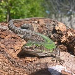 ... incontri (nikdanna) Tags: lucertola lizard reptile rettile natura nature