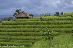 Paddyfields on the Hill (Prayudi Hartono) Tags: bali rice paddy terrace hill farmer ricefields paddyfields sawah petani jatiluwih