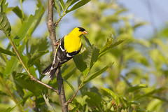 American Goldfinch (Shane Hesson) Tags: ohio birds canon sigma madison 7d teleconverter avian americangoldfinch 2x riverroadpark 120300mm lakemetroparks