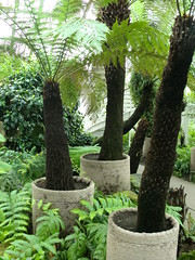 Tree Ferns (ForgottenGenius) Tags: house fern tree kew garden botanical treefern temperate