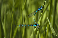 Mating Damsels (me'nthedogs) Tags: somerset naturereserve levels damselflies westhay commonbluedamselfly