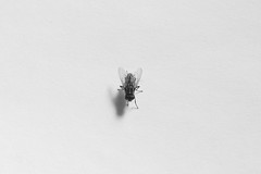 Hunted (Snapfus) Tags: blackandwhite macro fly insects bugs flies minimalism
