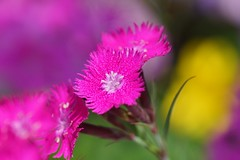 /Dianthus superbus var.longicalycinus (nobuflickr) Tags:  dianthussuperbusvarlongicalycinus   awesomeblossoms  hybridpink persephonesgarden  20130526dsc01868