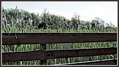 Are cattails fenced in or out? (Oh Kaye) Tags: overexposed ribbet ridgefieldnwr fencefriday assignment52232013
