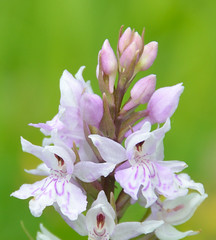 common spotted orchid (GE fotography) Tags: uk pink england white orchid iso200 kent nikon purple unitedkingdom spotted nikkor common f9 dactylorhiza 200mm 5584 1100s fuchsii d7000 18to200