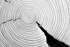 (-- brian cameron --) Tags: wood trees blackandwhite bw toronto blackwhite circles rings ash cracks cracked concentric crosssection treerings growthrings 550d