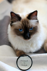 Chilli 9 (SuperNiima) Tags: pet cute cat blueeyes ragdoll