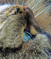 Cats Eye Close Up (Daisy Waring World) Tags: cats 19 catseye tabbycat catsnose whickers catswhiskers catsface