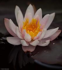 Pictures of Lily (katrin glaesmann) Tags: flower waterlily hannover seerose herrenhusergrten berggarten gardensofherrenhausen