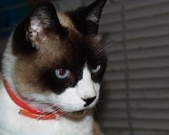Snowshoe Cat - Olympus D-620L (divewizard) Tags: california cat snowshoe kat olympus gato dslr manhattanbeach  gatto  kedi  kissa pusa  losangelescounty    elporto  snowshoecat 90266  d620l chrisgrossman northmanhattanbeach