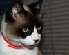 Snowshoe Cat - Olympus D-620L (divewizard) Tags: california cat snowshoe kat olympus gato dslr manhattanbeach 猫 gatto חתול kedi 貓 kissa pusa گربه losangelescounty кошка 고양이 кот elporto γάτα snowshoecat 90266 قط d620l chrisgrossman northmanhattanbeach קאַץ