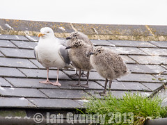Seagull Family 5455 (stagedoor) Tags: uk england copyright seagulls tourism birds town olympus tourist chicks scarborough northyorkshire em5