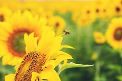 Paint Your Life (Andrea LD) Tags: summer canon eos bokeh 85mm bee explore sunflowers 7d usm f18 85 ef