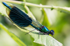 Caloptryx clatant - Banded Demoiselle-10.jpg (6uillaume L.) Tags: macro nature closeup canon insect damselfly odonata