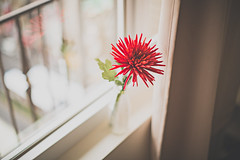 flowers made my day.. (Charles Wonderland*) Tags: life light red flower beautiful canon eos 50mm quiet peace bokeh daily 5d 365 moment simple canonef50mmf12lusm canoneos5dmarkiii 5diii