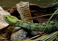 Green snake (apulloa@sbcglobal.net) Tags: reptile snake culebra reptil serpiente vibora