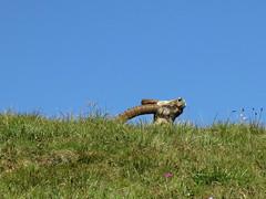 mmmmm che bene al sole.... (gabrieli_a) Tags: marmolada auta malgaciapela stambecchi montealto roccapietore lacdeigiai