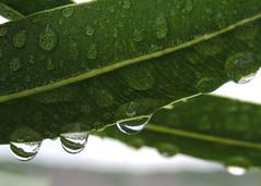 oleander (zamburak) Tags: rain drops oleander
