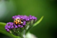 19 Spot Harlequin (klythawk) Tags: nottingham brown white black flower macro green nature insect dof purple buddleia panasonic tiny ladybird ladybug 45mm harlequin omd em5 19spot klythawk