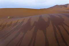 sahara desert, camel shadows @ sunset (Marco Vangelisti) Tags: door travel roses panorama seagulls fish mountains chicken sahara desert ben el camel morocco goats atlas marocco marrakech carpets souks essaouira ait fatma 2012 riad tajine fna qasba argan djemaa setti haddou kutubiyya tuxnowar
