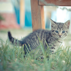 A kitten is, in the animal world, what a rosebud is in the garden (Peter Jaspers(busy)) Tags: vacation italy holiday cute square kitten feline italia dof kitty olympus zuiko campsite lr straycat lightroom straykitten m43 500x500 mft epl1 45mm18 frompeterj