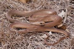 Eastern Brown Snake (Pseudonaja textilis) (Gus McNab) Tags: brown snake eastern pseudonaja textilis