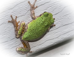 Gray Tree Frog (Shannonsong) Tags: macro cute nature wildlife amphibian frog wv graytreefrog commontreefrog greytreefrog