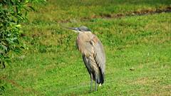 Great Blue Heron (Jim Mullhaupt) Tags: blue lake bird heron big pond flickr florida bradenton greatblueheron wader mullhaupt jimmullhaupt