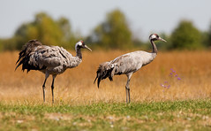 Common Crane pair