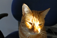 """Ginger Tom • <a style=""""font-size:0.8em;"""" href=""""http://www.flickr.com/photos/89972965@N03/10108046976/"""" target=""""_blank"""">View on Flickr</a>"""
